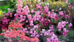 Rose garden 9