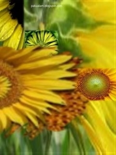sun flower edge