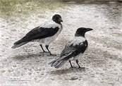 Kraka_hooded_crow_nebelkrahe-thumb