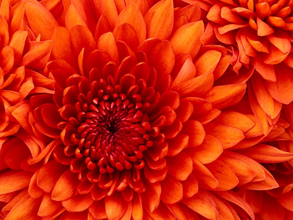 Chrysanthemum-normal