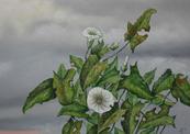 Pispotplant-thumb