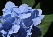 Blue_hydrangia-thumb