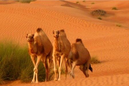 Camels_desert-normal