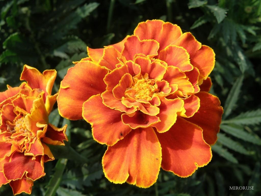 Flower1-normal