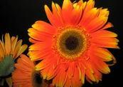 Bright_orange-thumb