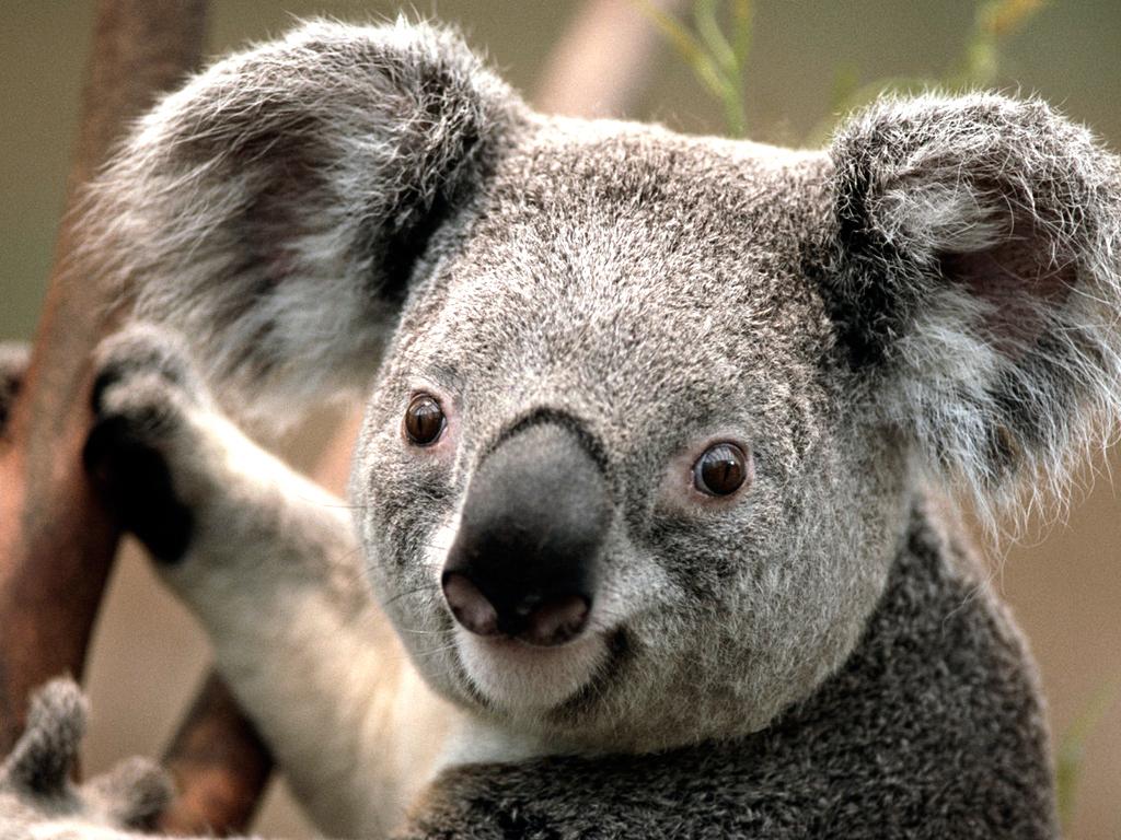 Koala-normal