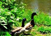 Duckies_-thumb